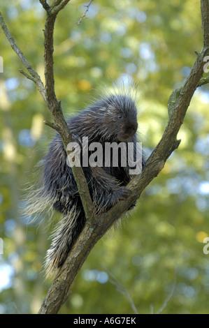 New World porcupines (Erethizontidae), sitting in tree, USA - Stock Photo