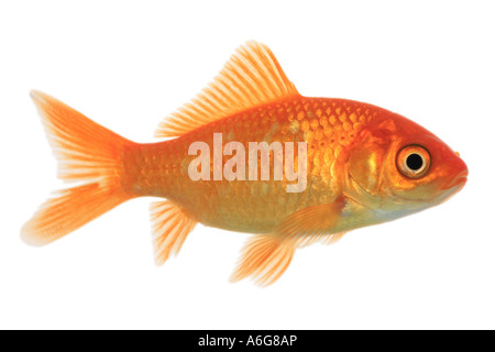 goldfish, common carp (Carassius auratus), side view - Stock Photo
