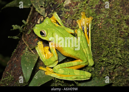 Wallace s Flying Frog Borneo - Stock Photo