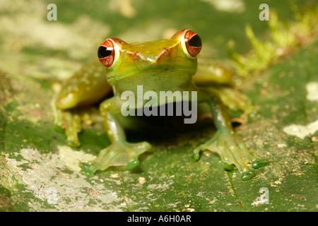 Jade Tree Frog Rhacophorus dulitensis Danum Valley Sabah Borneo - Stock Photo