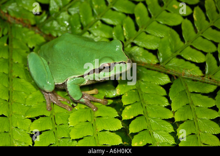 Italian Green Tree Frog Hyla intermedia Sulmona Italy Previously considered the same as Hyla arborea - Stock Photo