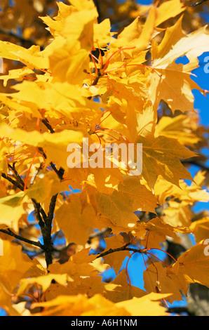 Golden autumn leaves - Stock Photo