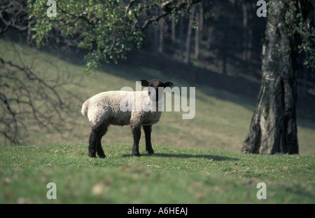 black faced lamb in field, Peak District - Stock Photo