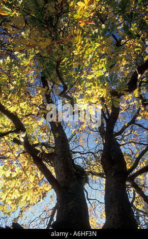 majestic oak tree leaves turning in autumn - Stock Photo