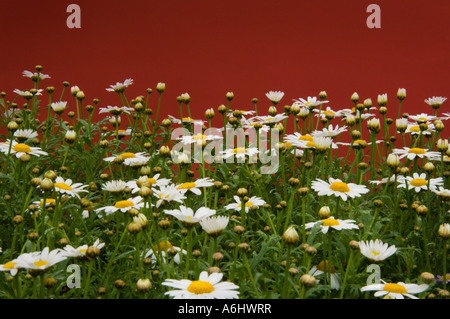 Daisies against Red Background - Stock Photo