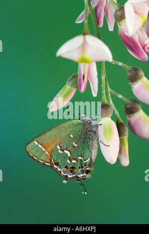 Juniper Hairstreak adult on blossom of Eve s Necklace Hill Country Texas USA