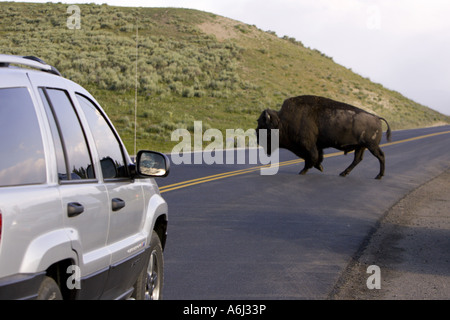 WYOMING USA Car stops as bison crosses road in Yellowstone National Park - Stock Photo