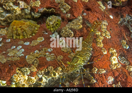 Common Prawn (Palaemon serratus) with Barnacles and Limpets, underwater in St Brides Bay, Pembrokeshire, West Wales, - Stock Photo