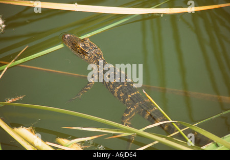 Young American alligator floating among the cattails in a small pond in western Florida - Stock Photo