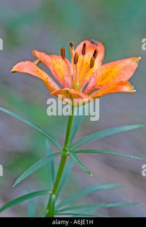 Fire Lily, Orange Lily (Lilium bulbiferum), flower - Stock Photo