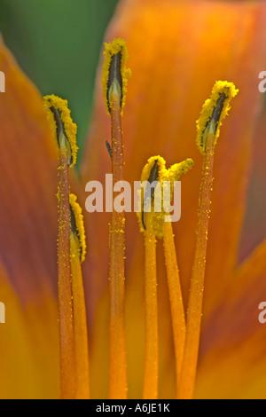 Fire Lily, Orange Lily (Lilium bulbiferum), close up of stamens - Stock Photo