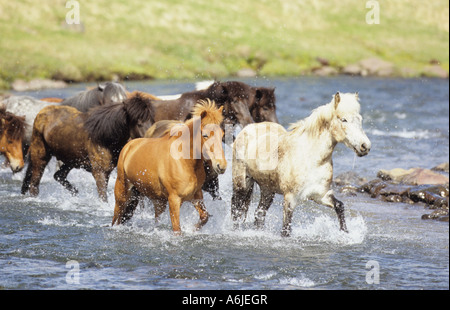 Icelandic Horse (Equus caballus). Herd crossing a stream - Stock Photo