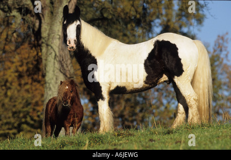 Gypsy Vanner Horse (Equus caballus). Pinto stallion with its friend a Miniature Shetland Pony gelding - Stock Photo