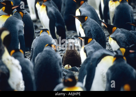 king penguin (Aptenodytes patagonicus), breeding, adults with chick in the middle, Salisbury Plains - Stock Photo