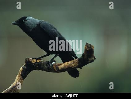 Jackdaw (corvus monedula) in the Uk - Stock Photo