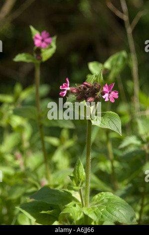 Silene dioica Red campion in flower growing in woodland in Cheshire - Stock Photo