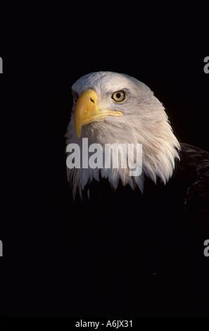 Bald Eagle Colorado USA - Stock Photo