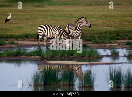 Two BURCHELL S ZEBRAS equus Burchelli is reflected in a pool of rain water SERENGETI NATIONAL PARK - Stock Photo