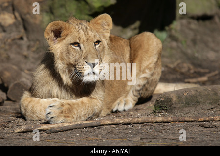young Lion - Panthera leo - Stock Photo