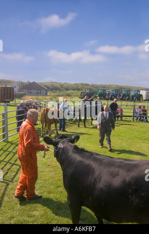dh Annual Cattle Show SHAPINSAY ORKNEY Judge judging beef cows at agricultural show - Stock Photo