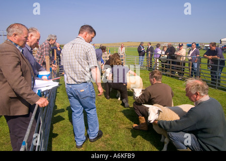 dh Annual Show SHAPINSAY ORKNEY Judge judging best pair of lambs at agricultural show - Stock Photo