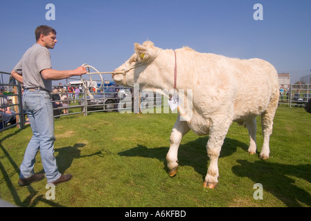 dh Annual Cattle Show SHAPINSAY ORKNEY Beef cow in ring Charolais Heifer  at agricultural show - Stock Photo