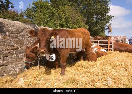 dh County Show KIRKWALL ORKNEY Pure bred polled shorthorn heifer cow straw bed stall pedigree livestock uk - Stock Photo
