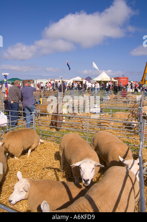 dh County Show KIRKWALL ORKNEY Texel gimmer ewe sheep in livestock pen show ground agriculture farm pens - Stock Photo