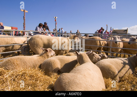 dh County Show KIRKWALL ORKNEY Charollais gimmer ewe lamb sheep in livestock pen show ground agriculture - Stock Photo
