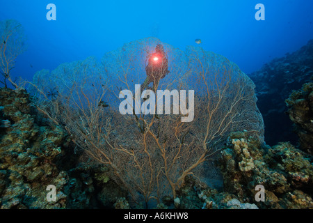 scuba diver with large gorgonian fans - Stock Photo