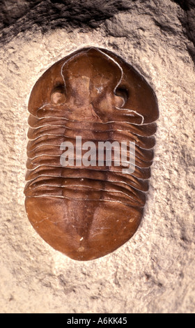 Trilobite Fossil on stone Carboniferous period time 290 Million years ago - Stock Photo