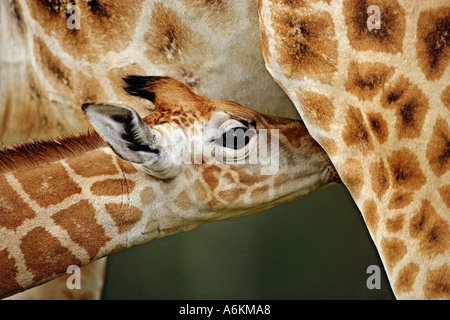 Rothschild Giraffe Giraffa camelopardalis rothschildi Nine day old baby Lake Nakuru National Park Kenya Dist East - Stock Photo