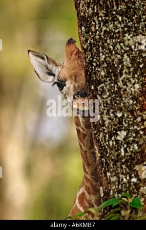 Rothschild Giraffe Giraffa camelopardalis rothschildi Nine day old baby Lake Nakuru National Park Kenya Dist East - Stock Photo
