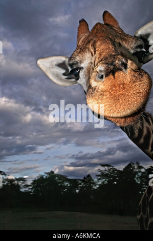 Rothschild Giraffe Giraffa camelopardalis rothschildi Portrait of adult with stormy sky in background Kenya - Stock Photo