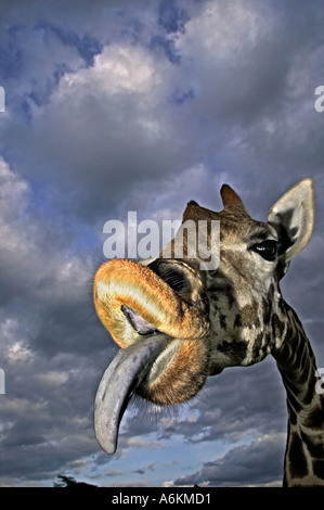 Rothschild Giraffe Giraffa camelopardalis rothschildi Portrait of adult and tongue extended with stormy sky in background - Stock Photo