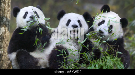 Three panda cubs eating bamboo together Wolong China - Stock Photo