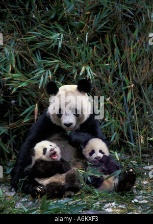 Mother giant panda with two cubs in the bamboo bush Wolong Sichuan China - Stock Photo