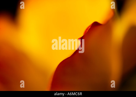 Tulip Tulipa Easter Surprise abstract close-up suitable for a fine art poster greeting card calender calendar - Stock Photo