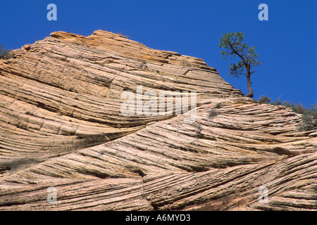 Lone pine tree growing out of folded sandstone rock along the Zion Mt Carmel Highway Zion National Park Uath - Stock Photo