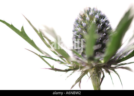 close up of sea holly thistle type plant - Stock Photo