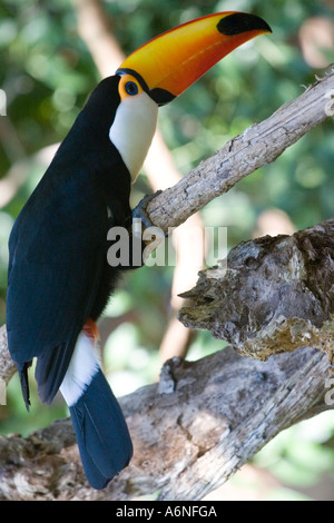 Toucan - Vertical profile from slightly behind B (Argentina 2005) - Stock Photo