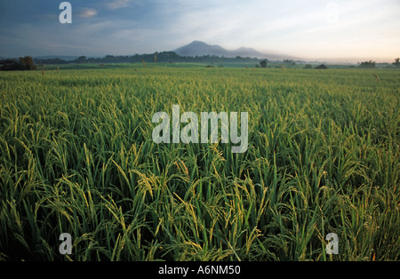 Rice fields at dawn Gunung Batukau in the distance Inland of Yeh Gangga Bali Indonesia - Stock Photo