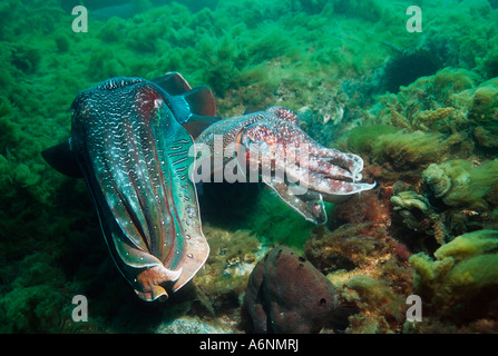 Giant cuttlefish Sepia apama courting male with egg-laying female - Stock Photo