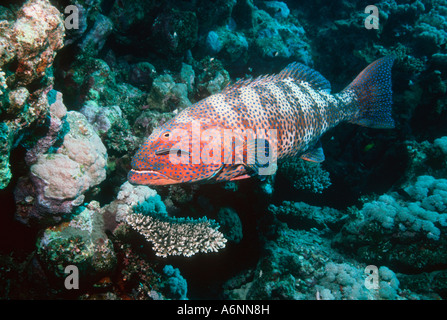 Roving coralgrouper being cleaned by Bluestreak cleaner wrasse Egypt Red Sea - Stock Photo
