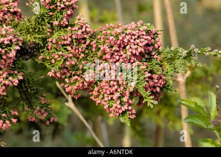 Lawson's Cypress, chamaecyparis lawsoniana 'Wisselii' - Stock Photo