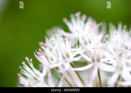 Allium flowers - Stock Photo