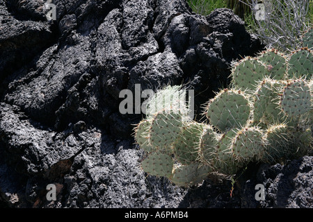 Chenille Prickley Pear,El Malpais lava flow. central New Mexico, USA - Stock Photo