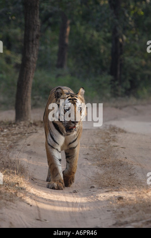Male Royal Bengal Tiger at Bandhavgarh India - Stock Photo