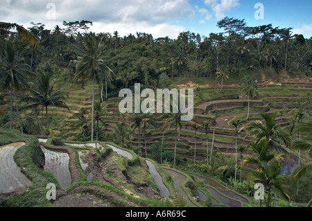 Rice terraces in Tegalalang near Ubud in Central Bali - Stock Photo
