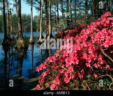 Greenfield Gardens in Wilmington in North Carolina showing the city park ablaze with red azalea blooms amid Cypress - Stock Photo